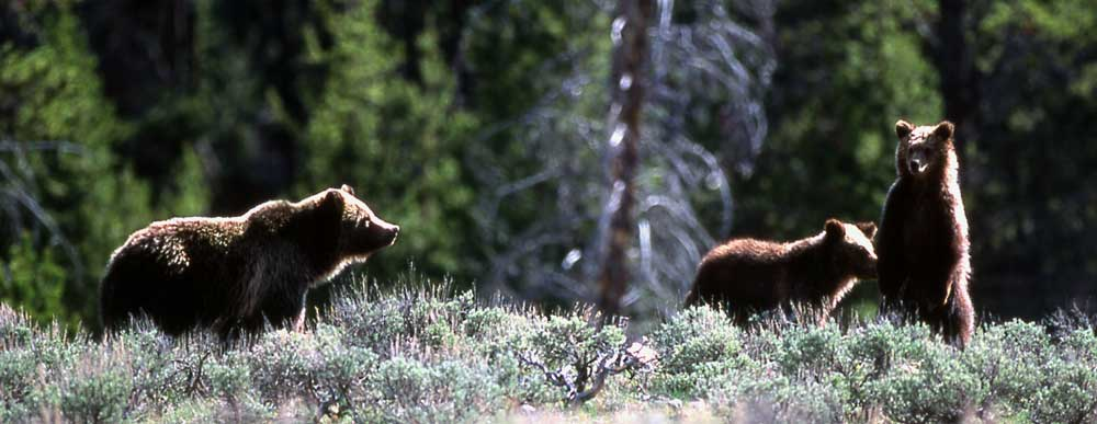 3-bears-wide-cropped-web